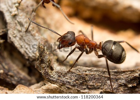 Close-up of a European red wood ant (Formica rufa) - stock photo