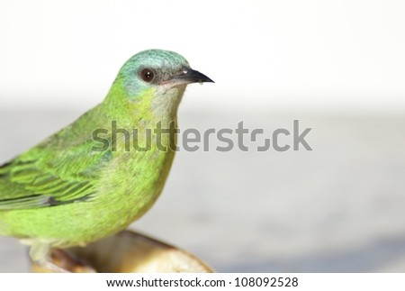Close-up of a Female Blue Dacnis. It's a colorful green and blue bird. - stock photo