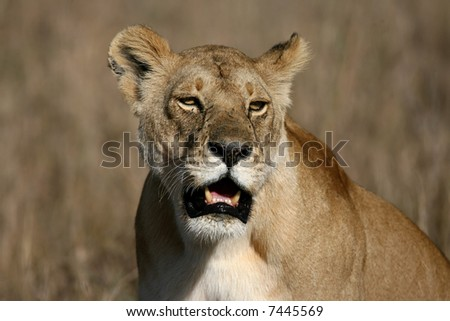 Close Up of a Female Lion