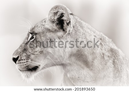 Close-up of a female Lion face in Samburu National Reserve - stock photo