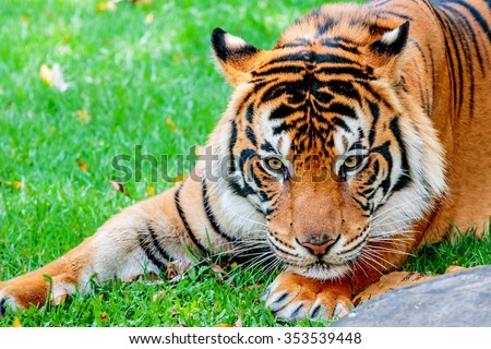 Close up of a female Sumatran tiger about to pounce on her prey