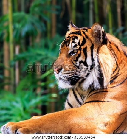 Close up of a female Sumatran tiger in a regal pose - stock photo
