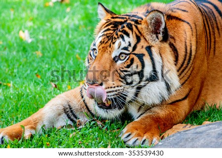 Close up of a female Sumatran tiger, licking her lips about to pounce on her prey - stock photo