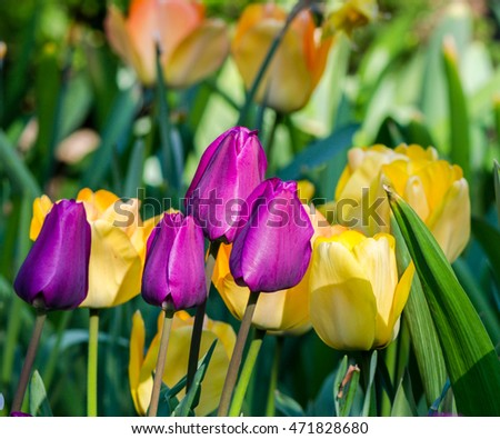 Close Up  of a Field of Deep Purple and  Bright Yellow Tulips Against a Garden Background