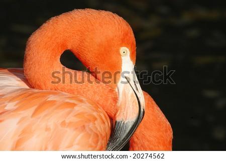 Close up of a flamingo head - stock photo