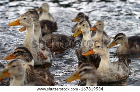 close-up of a flock of gray ducks with yellow beaks summer day on the river - stock photo