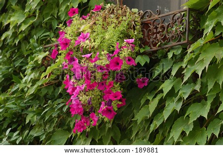 Close-up of a flowering plant amidst a creeper, Tuscany, Italy, - stock photo