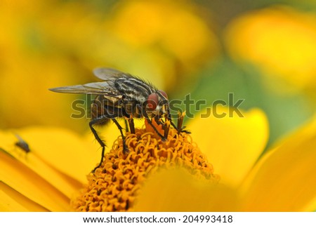 Close up of a fly on a sun flower