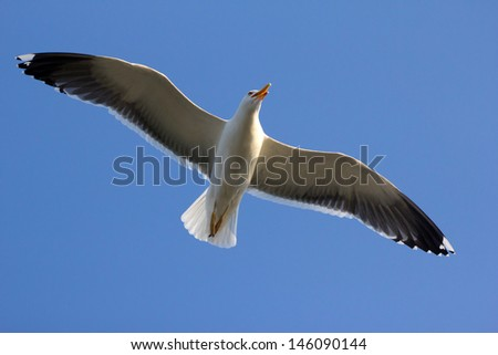 Close-up of a flying seagull in a clear blue sky - stock photo