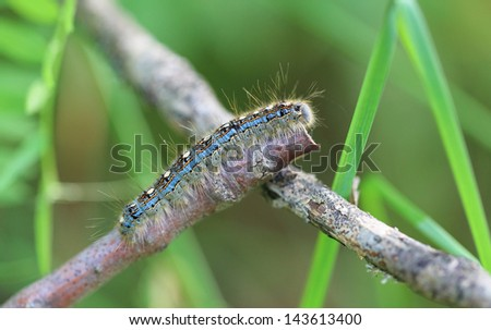 Close-up of a Forest Tent Caterpillar (Malacosoma disstria) crawling along a twig. - stock photo