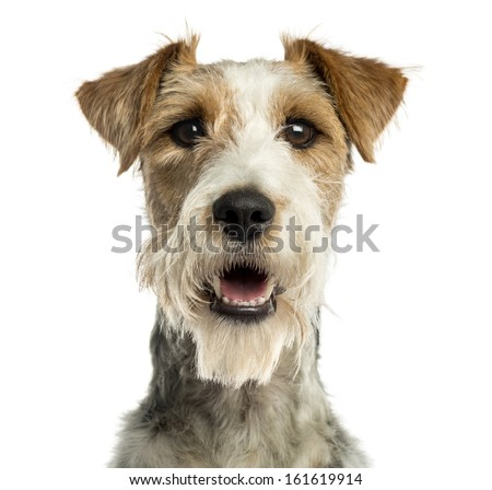 Close-up of a Fox terrier facing, panting, isolated on white - stock photo