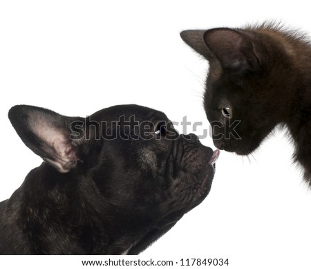 Close-up of a French bulldog licking the kitten's nose against white background - stock photo