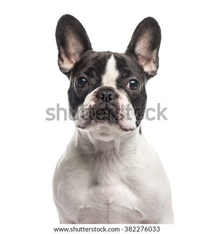 Close up of a French Bulldog looking at the camera, isolated on white (1 year old)