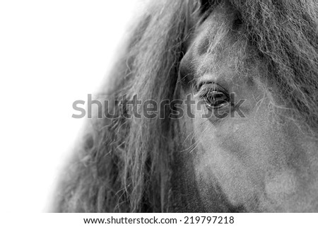 Close up of a Friesian / Frisian stallion horse head eye and mane with white background - stock photo