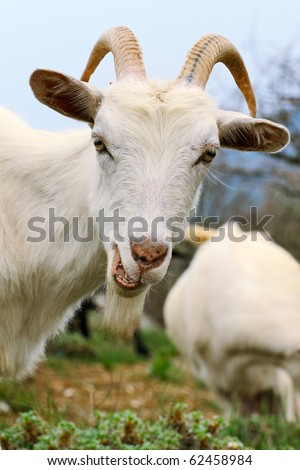 Close up of a funny white goat with a smirk on summer meadow - stock photo