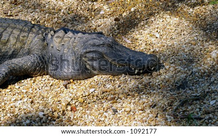 Close up of a gator - stock photo