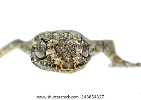close up of a gecko face