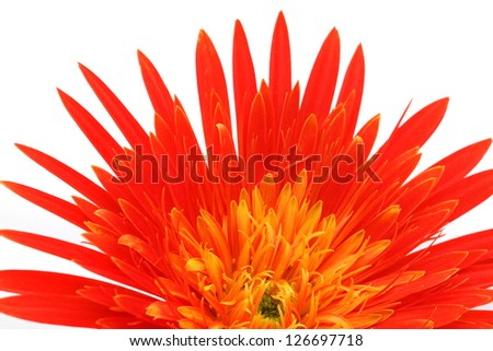 Close up of a gerbera flower over white background - stock photo
