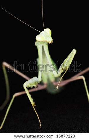 Close up of a Giant Asian Praying Mantis (Hierodula membranacea ) against  black background.