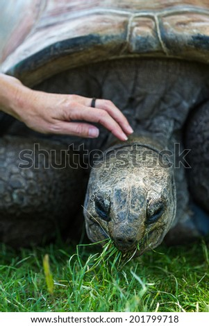 close up of a giant galapagos tortoise feeding on green grass - stock photo