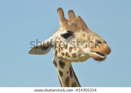 Close up  of a Giraffe