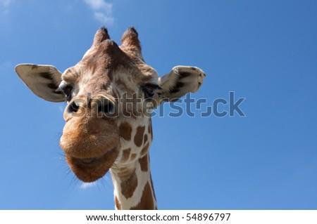 Close up of a Giraffe - stock photo