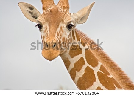 Close-up of a Giraffe neck and head on a white background