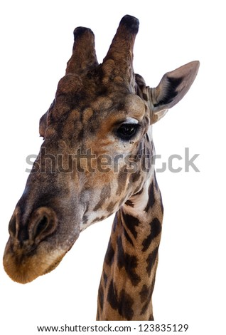 Close-up of a  Giraffe on a white background