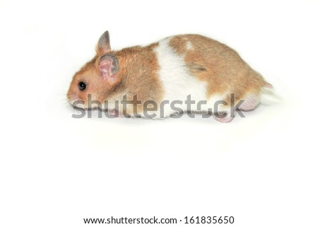 Close-up of a golden hamster isolated on white background - stock photo