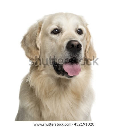 Close up of a Golden Retriever isolated on white - stock photo