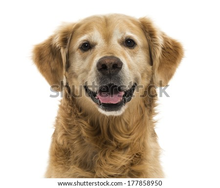 Close-up of a Golden Retriever panting, 11  years old, isolated on white - stock photo