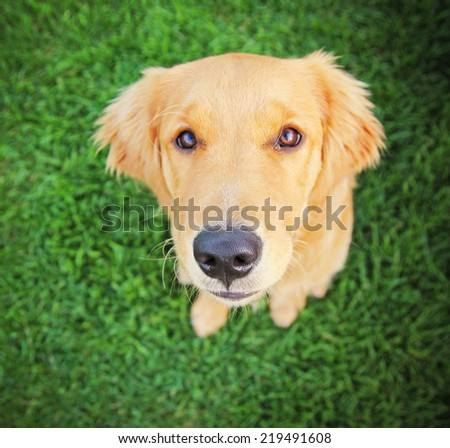 close up of a golden retriever puppy with the focus on the nose/mouth area (very shallow dof) - stock photo