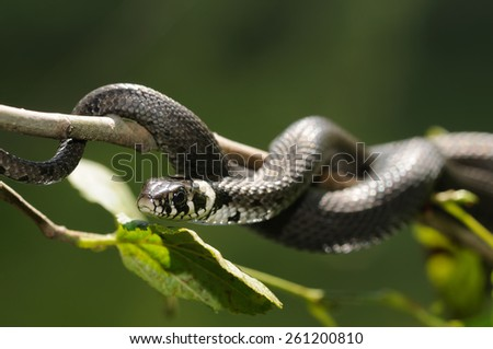 Close up of a Grass Snake - stock photo