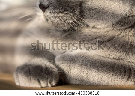 Close up of a gray british shorthair cat lying, low evening light, selective focus