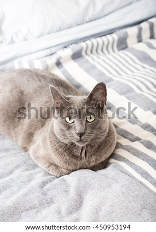 Close up of a Gray Cat Relaxing on Blue Striped Sheet. - stock photo