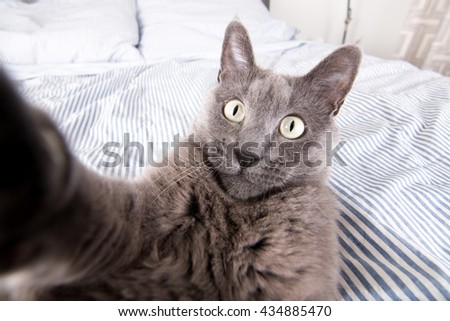 Close up of a Gray Cat Relaxing on Blue Striped Sheets Trying to Touch Camera - stock photo