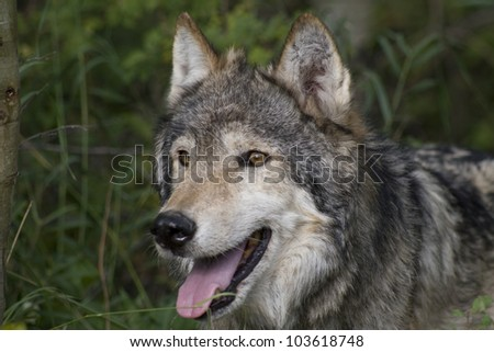 Close Up of a Gray Wolf in the woodlands - stock photo