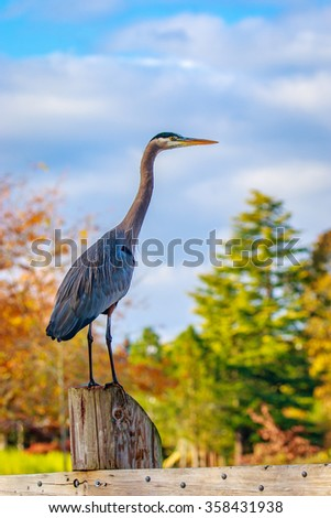 Close up of a great blue heron standing by the lake.