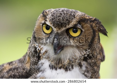 Close up of a Great Horned Owl also known as the Tiger Owl.  It's a large owl native to the Americas.  - stock photo