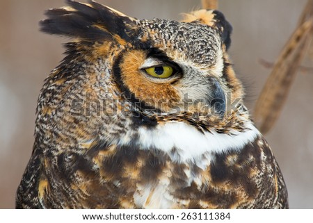Close up of a Great Horned Owl's face - stock photo