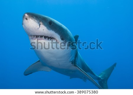 Close-up of a great white shark showing its teeth in clear blue water. - stock photo