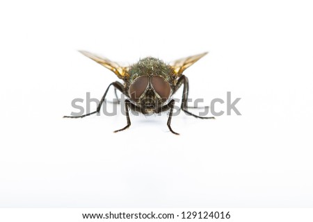 Close up of a Green Bottle House Fly taken head on on a plain background