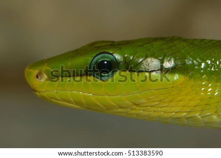close up of a green colubrid
