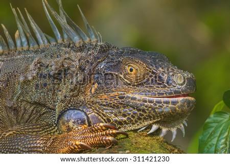Close-up of a Green Iguana, Reptile, Malaysia - stock photo