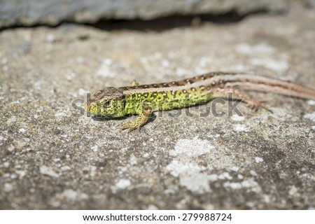 close up of a green sand lizard (Lacerta agilis) male on stony ground - stock photo