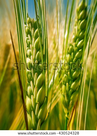 Close up of a green spike wheat - stock photo
