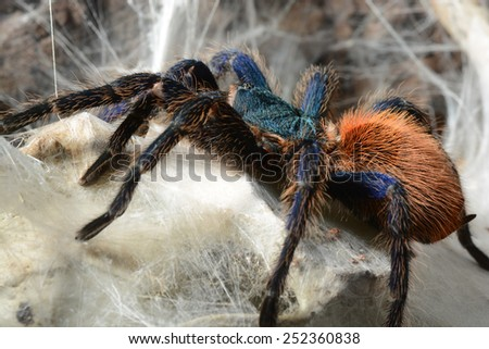 Close-up of a greenbottle tarantula (Chromatopelma cyaneopubescens) - stock photo