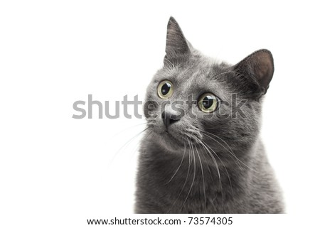 close-up of a grey cat with funny expression over white background - stock photo