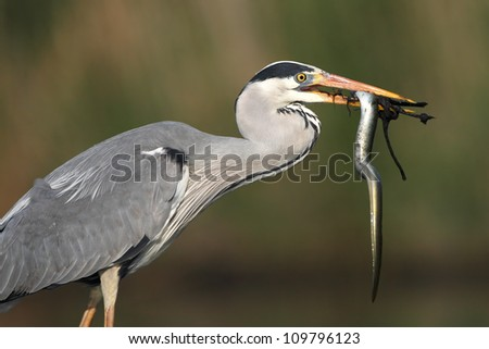 Close up of a Grey Heron that has captured an eel