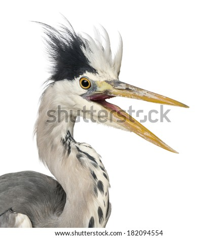 Close-up of a Grey Heron upset, screaming, Ardea Cinerea, 5 years old, isolated on white - stock photo